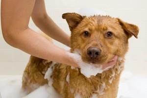 Banho com Carrapaticida